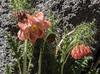Caiophora chuquitensis