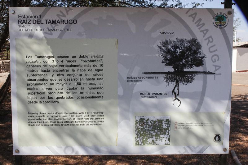 Prosopis tamarugo