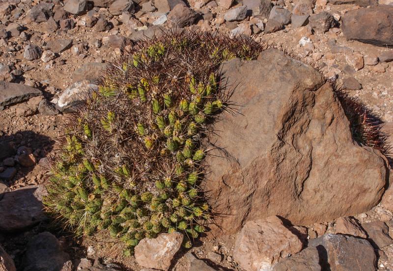 Cumulopuntia boliviana ssp. ignescens,
