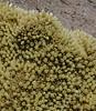 Pycnophyllum bryoides