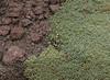 Azorella compacta & Hypochaeris taraxacoides