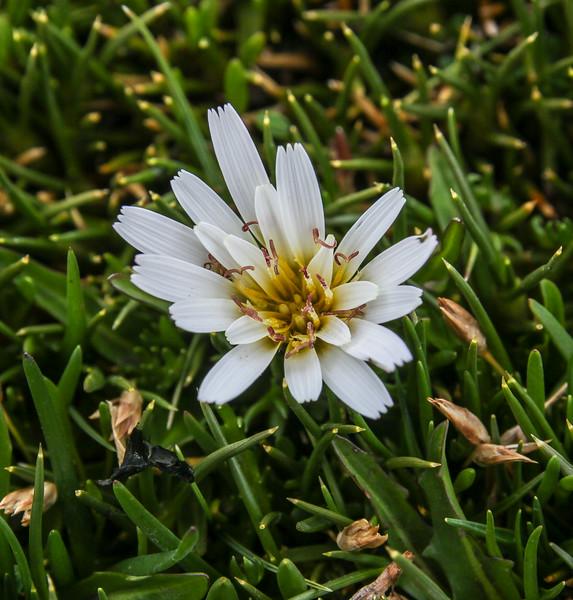 Hypochaeris taraxacoides