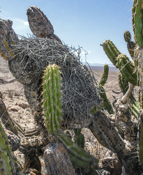 Nest in Corryocactus brevistylus