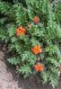 Caiophora rosulata
