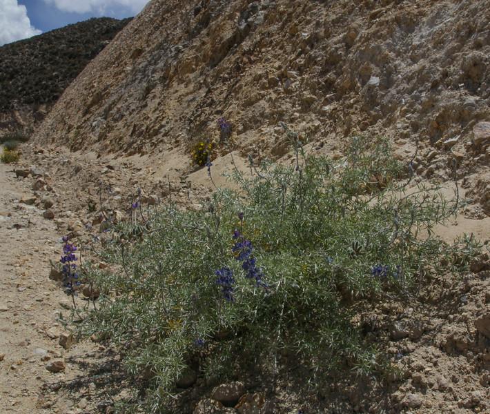 Lupinus oreophilis