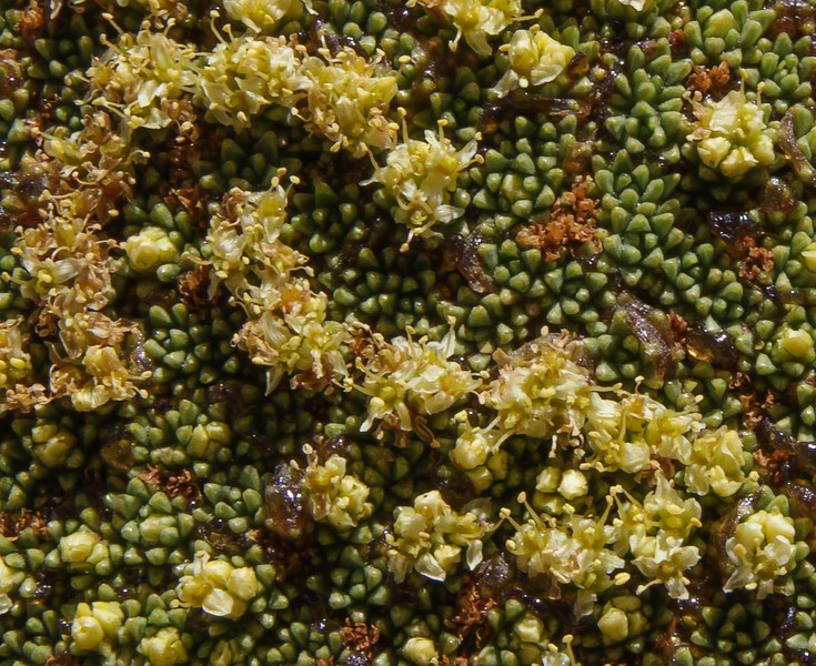 flowers of Azorella compacta