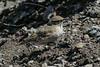 Geositta cunicularia