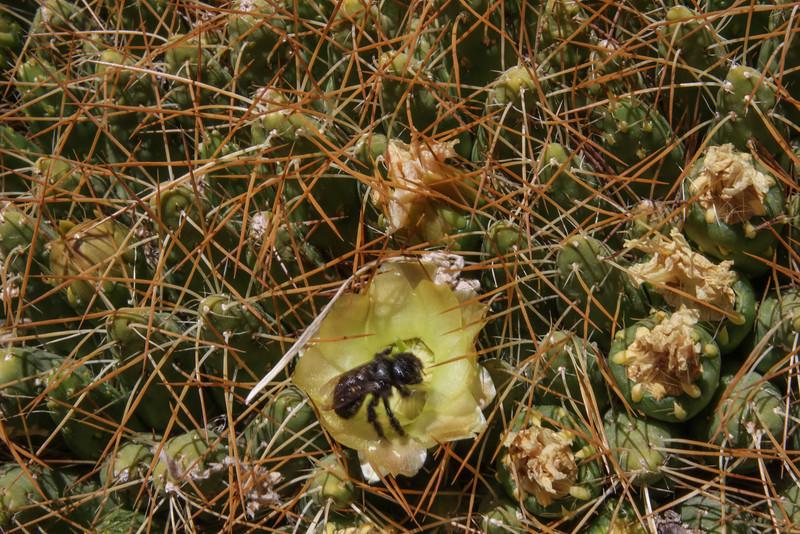 Cumulopuntia echinaceae and Alloscirtetica tristrigata