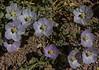 Cristaria andicola