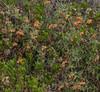 Caiophora cirsiifolia