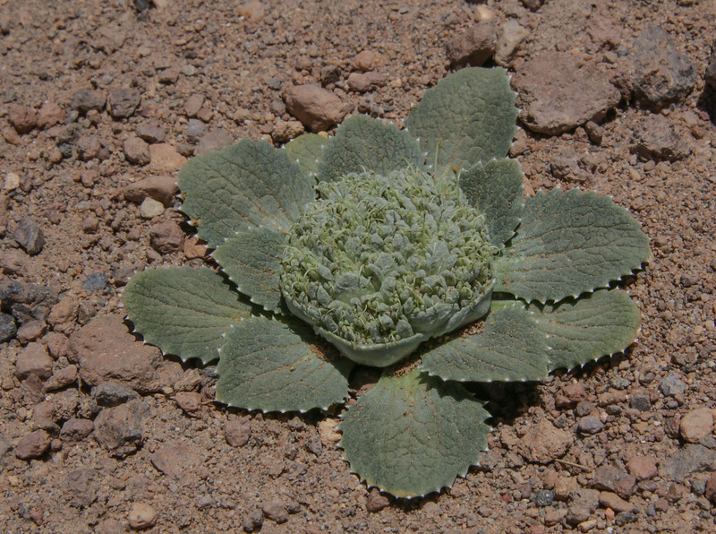 Moschopsis monocephala