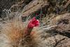 Oreocereus leucotrichus