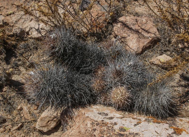 Haageocereus fascicularis