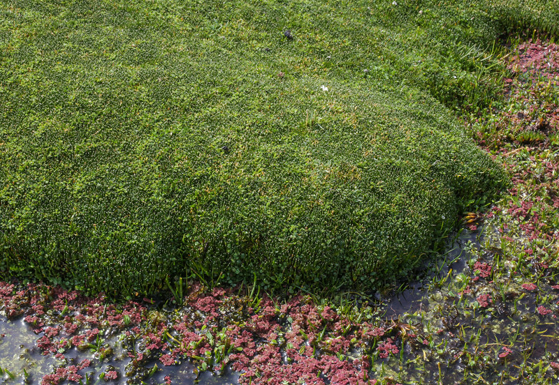 Azolla filiculoides in front and cushion Oxychloe andina