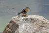 Falco femoralis