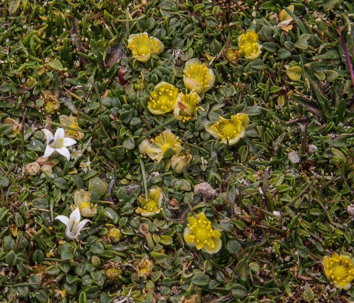 Lobelia oligophylla and Halerpestes uniflora