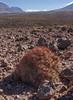 Cumulopuntia boliviana ssp. ignescens