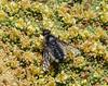 Polunating  Villa spec. on flowers of Azorella compacta