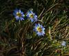 Gentiana sedifolia or G. gayi