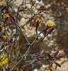 Tagetes multiflora
