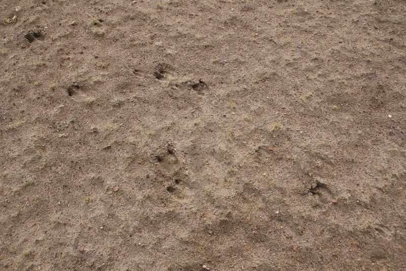 Footprints of Vicugna vicugna