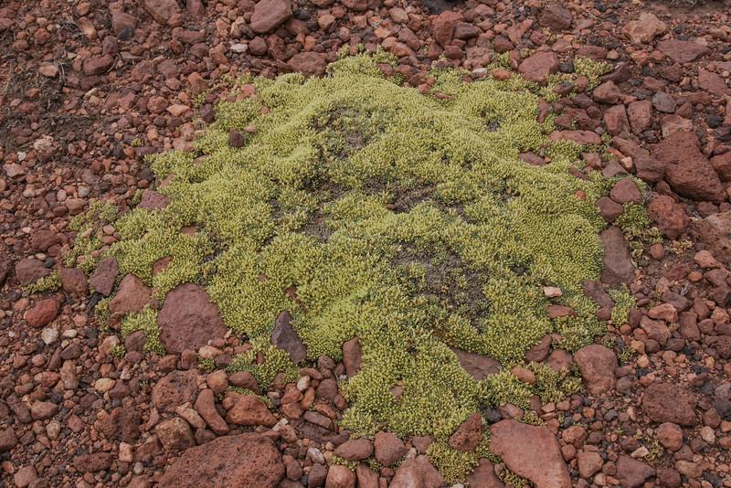 Pycnophyllum  molle