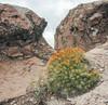 Cumulopuntia boliviana subsp. ignescens (syn. Maihueniopsis boliviana subsp. ingnescens)