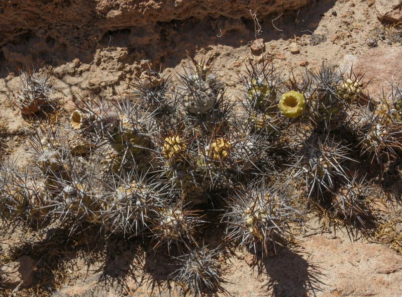 Haageocereus australis