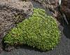 Azorella compacta