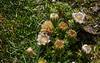 Werneria glaberrima