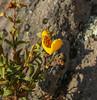 Calceolaria stellariifolia