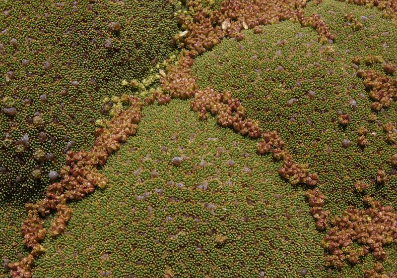 Fruit of Azorella compacta