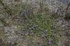 Verbena hispida
