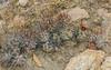 Cumulopuntio sphaerica