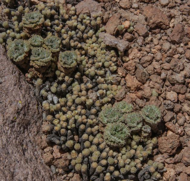 Nototriche turritella & Pycnophyllum bryoides