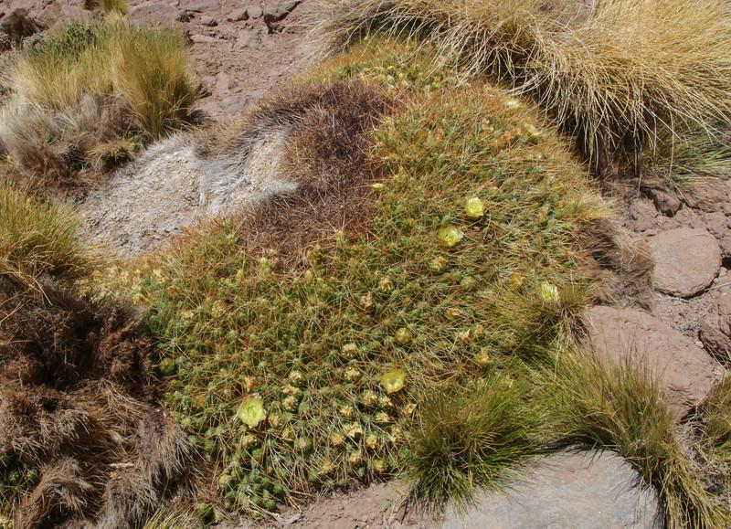 Cumulopuntia echinaceae