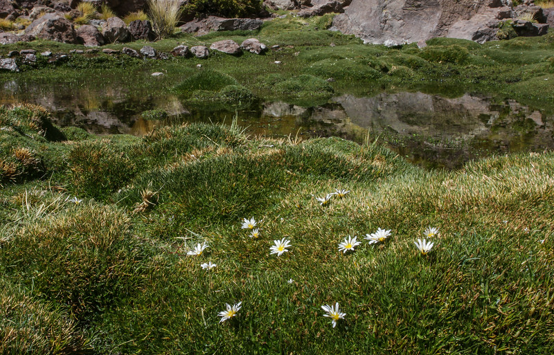 Distichia muscoides & Hypochaeris taraxoides