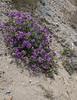 Solanum metarsium