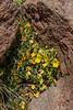 Adesmia occulta & Calceolaria stellariifolia
