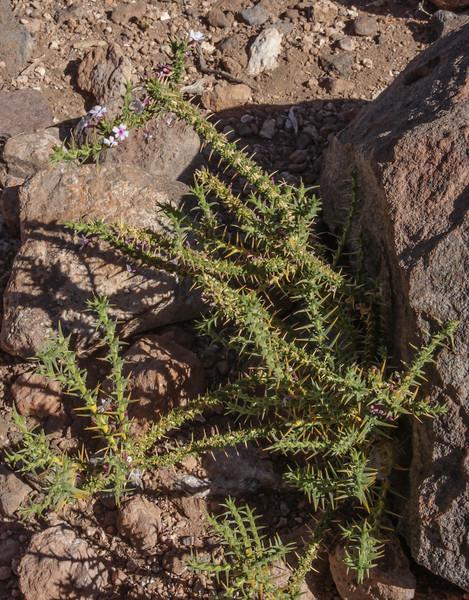 Junellia seriphioides