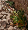 Valeriana pycnantha