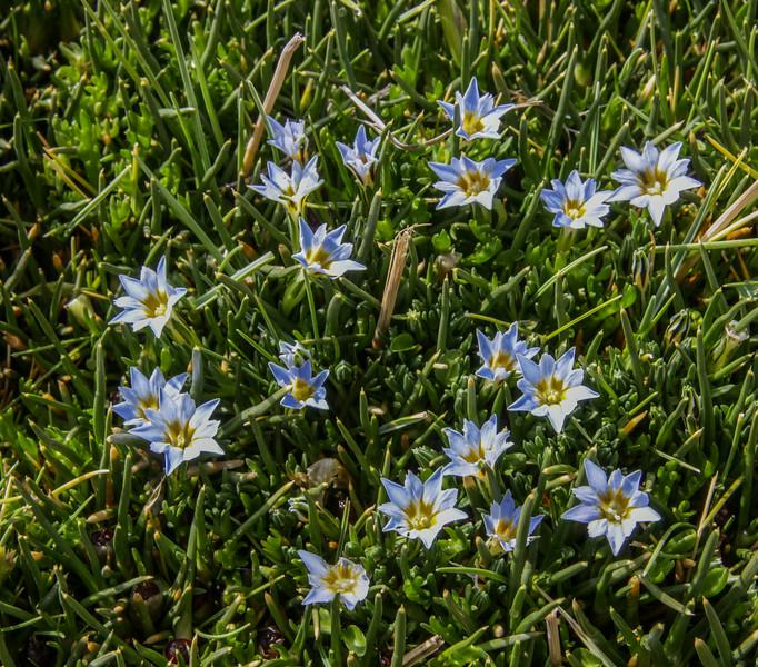 Gentiana sedifolia or G. gayi & Distichia muscoides