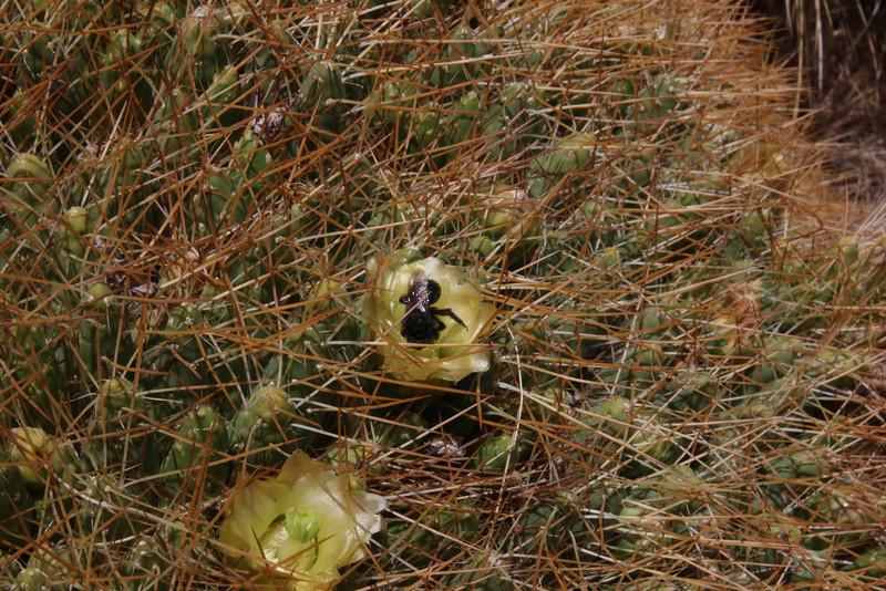Cumulopuntia echinaceae & Alloscirtetica tristrigata