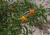 Mutisia acuminata