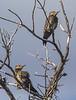 Colaptes pitius ssp. cachinnans