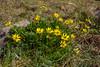 Ranunculus peduncularis