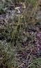 Silene magellanica