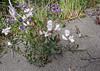 Lathyrus magellanicus