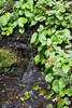 Ourisia ruellioides & Gunnera magellanica