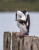 Phalacrocorax atriceps ssp. atriceps